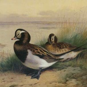 Archibald Thorburn – Old Squaw Duck Summer Oil Painting Reproductions